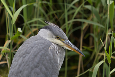 Relaxed Grey Heron surrounded by reeds