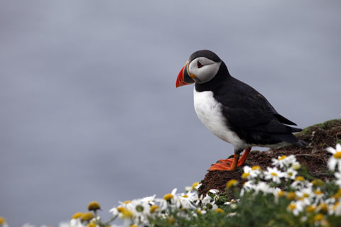Colourful Puffin standing on a daisy covered cliff-edge