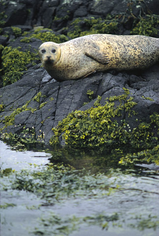 Common Grey Seal basking on a rock covered in seaweed
