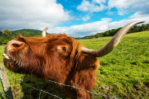 A honey-coloured Highland Cow or Hairy Coo scratches on a fence
