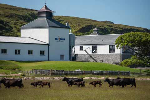 Cattle in the field outside Kilchoman Distillery