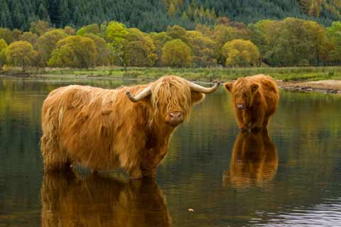 Two Highland Cows enjoying a paddle in a loch