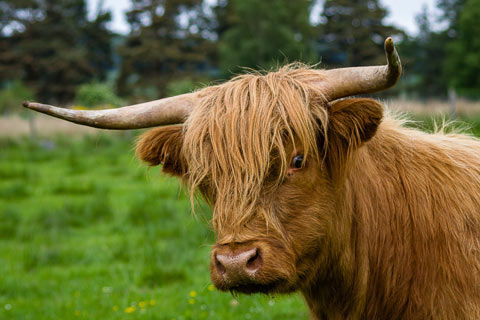 Close up of a brown Highland Cow