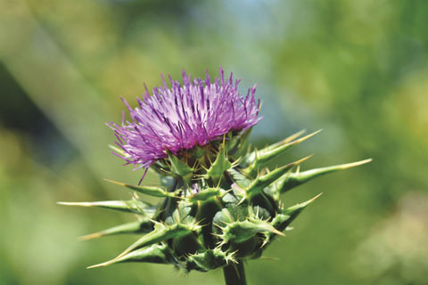 Close up of a thistle, purple flower with body of thorns