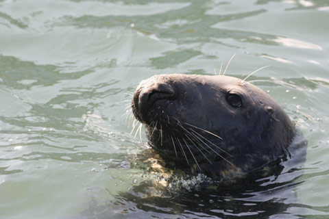 grey seal's head with white whiskers poking out of calm water